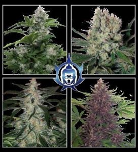 Buddha Seeds Assorted Auto