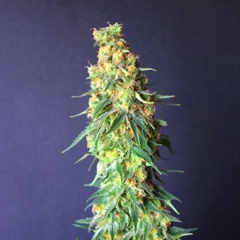 Kannabia Seed Company White Domina CBD