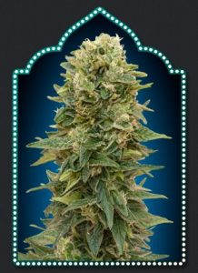 00 Seeds Bank Female Mix
