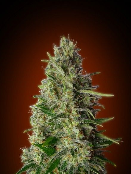Advanced Seeds Kali 47