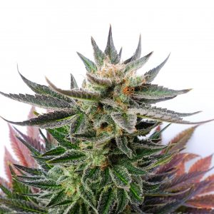 Kannabia Seed Company Sativa Dream