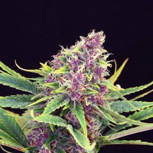 Kannabia Seed Company Purple Kush