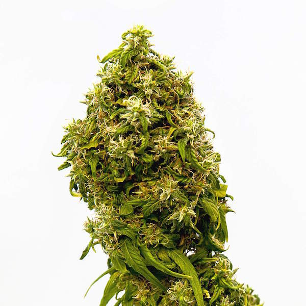 Kannabia Seed Company Swiss Dream CBD