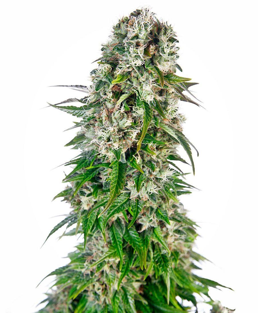 Sensi Seeds Big Bud Automatic