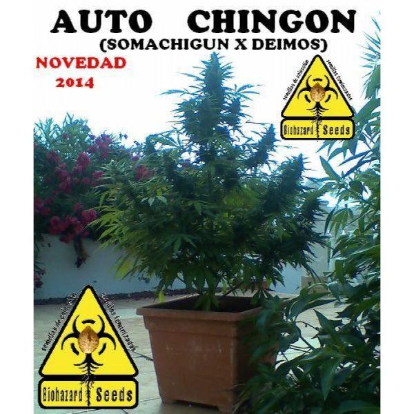 Auto Chingon Biohazard Seeds