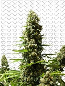 Black Diamonds Seeds Easy Sativa