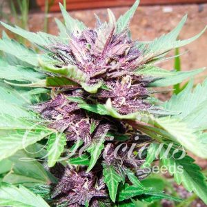 Delicious Seeds Auto Dark Purple