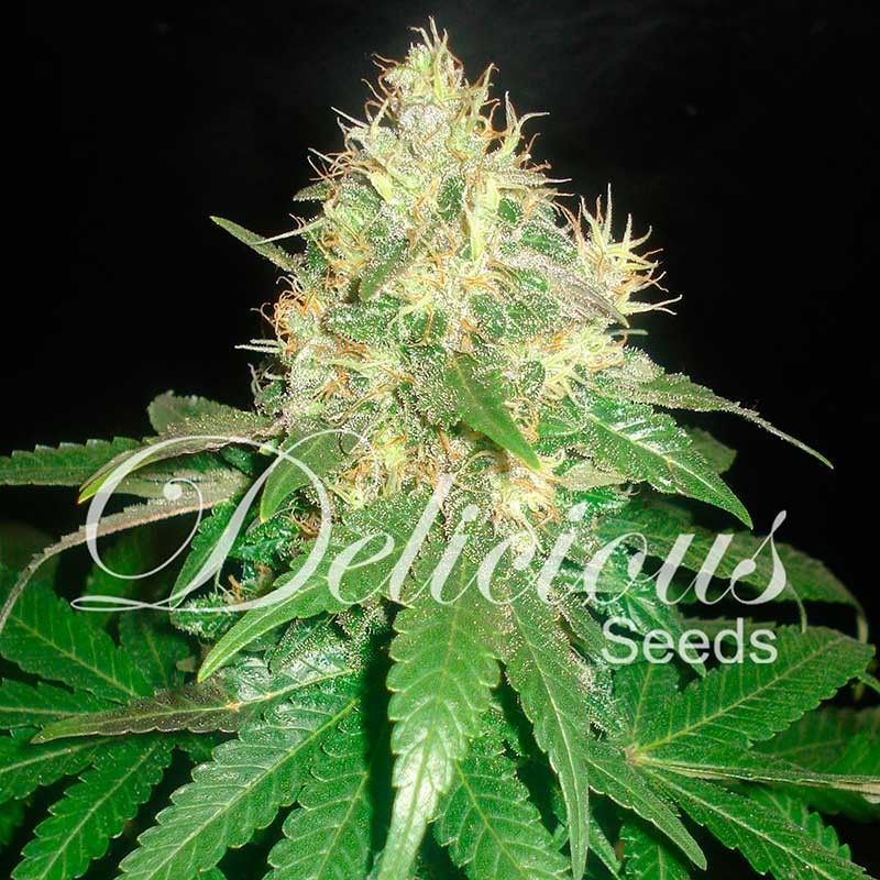 Delicious Seeds Northern Light Blue