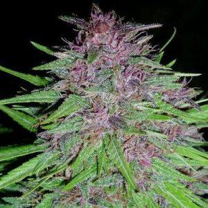 Ace Seeds ErdPurt