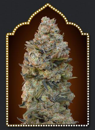 00 Seeds Bank Feminized Collection #1