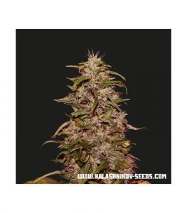 Kalashnikov Seeds Big Altai Sativa Express