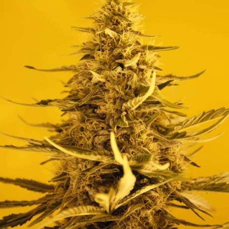 Nirvana White Widow Autoflower