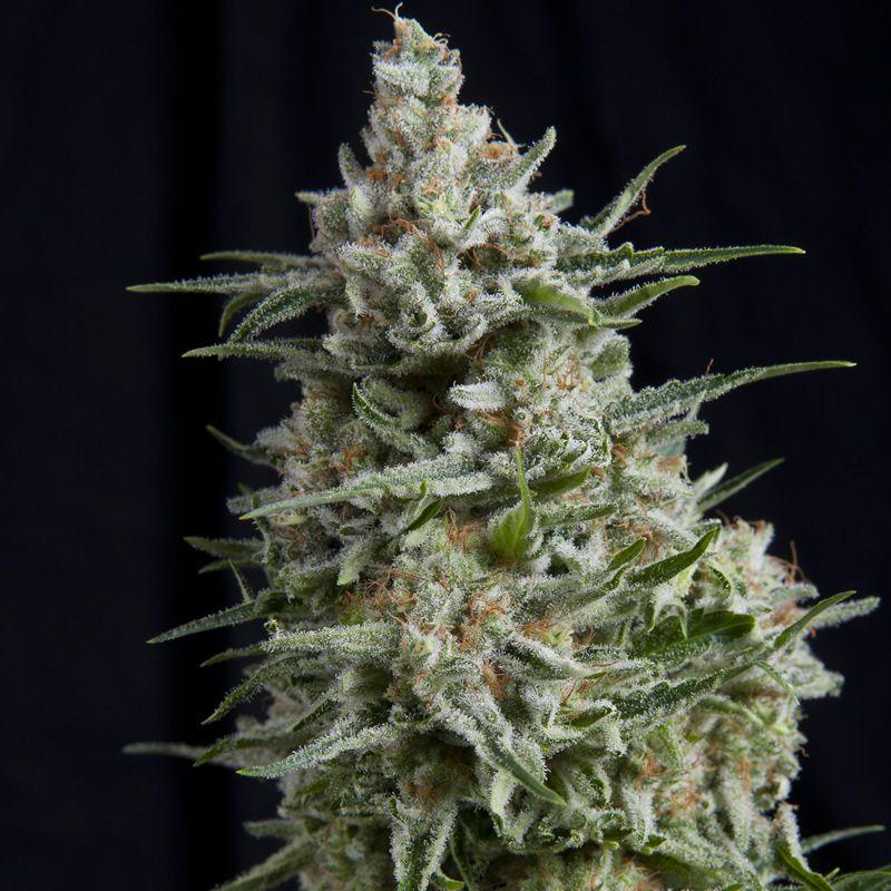 Pyramid Seeds Anesthesia CBD