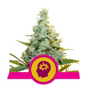 Royal Queen Seeds AMG