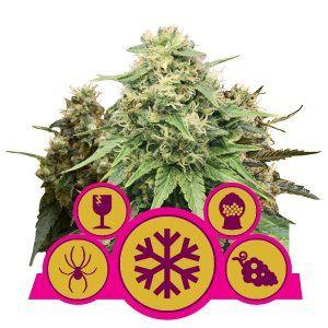 Royal Queen Seeds Feminizowane Mix