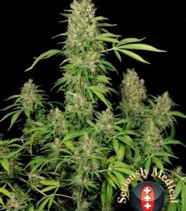 Serious Seeds CBD Chronic