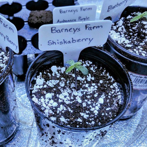 Shiskaberry Barney's Farm