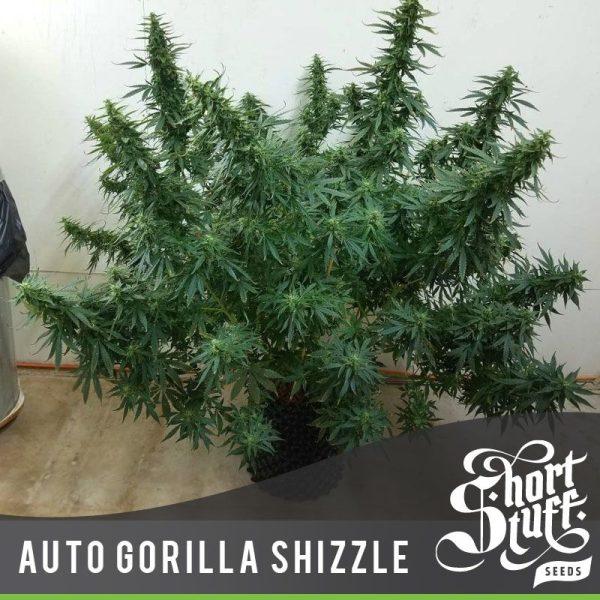 Auto Gorilla Shizzle Short Stuff Seedbank