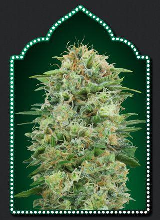 00 Seeds Bank White Widow CBD