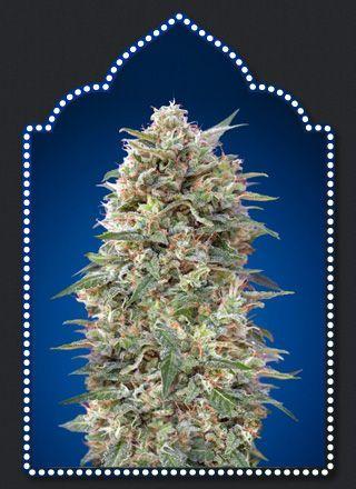 00 Seeds Bank California Kush