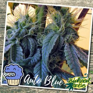 Biological Seeds Auto Blue