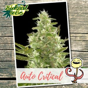 Biological Seeds Auto Critical