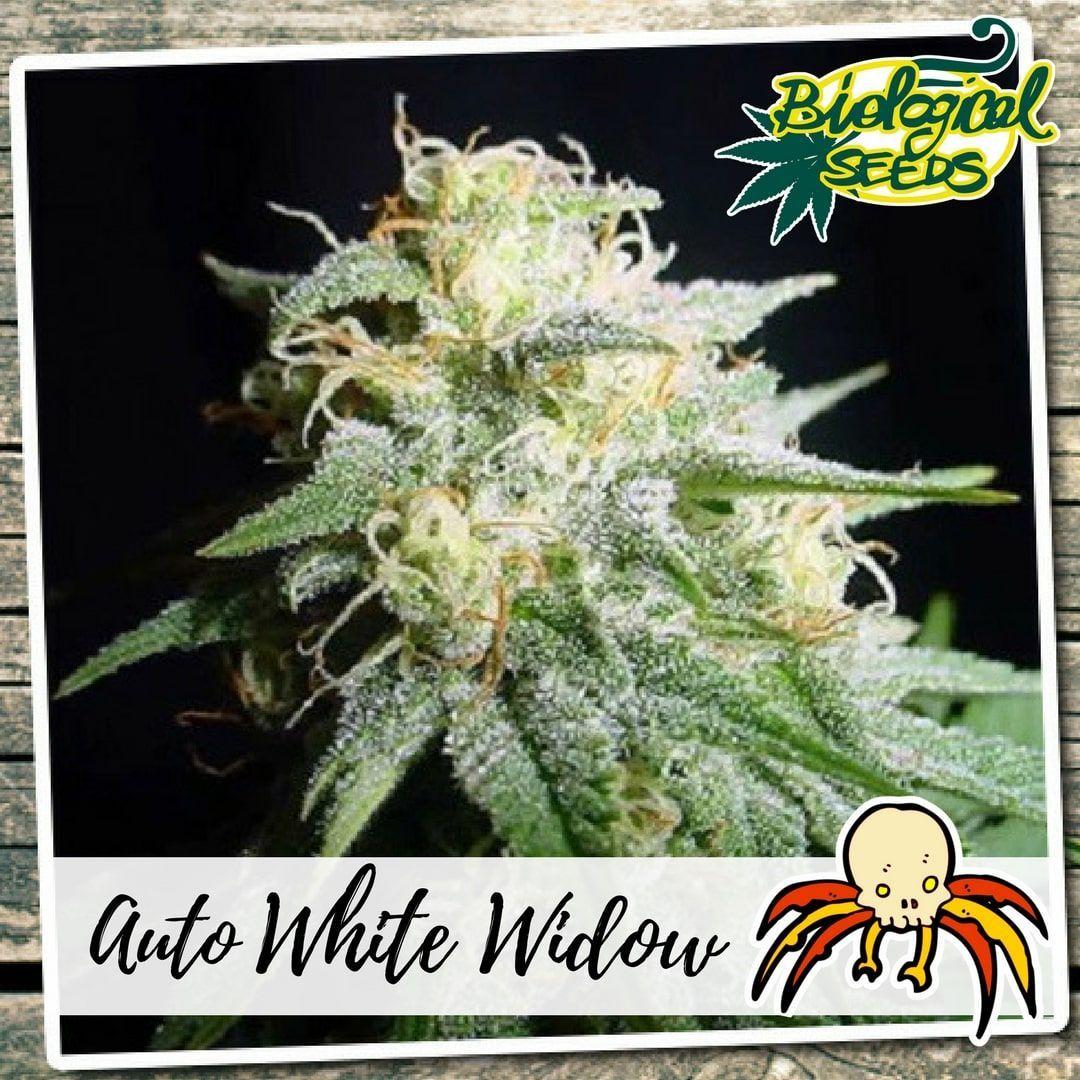 Biological Seeds Auto White Widow