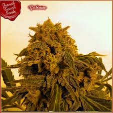French Touch Seeds Guillotine