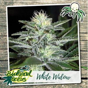 Biological Seeds White Widow
