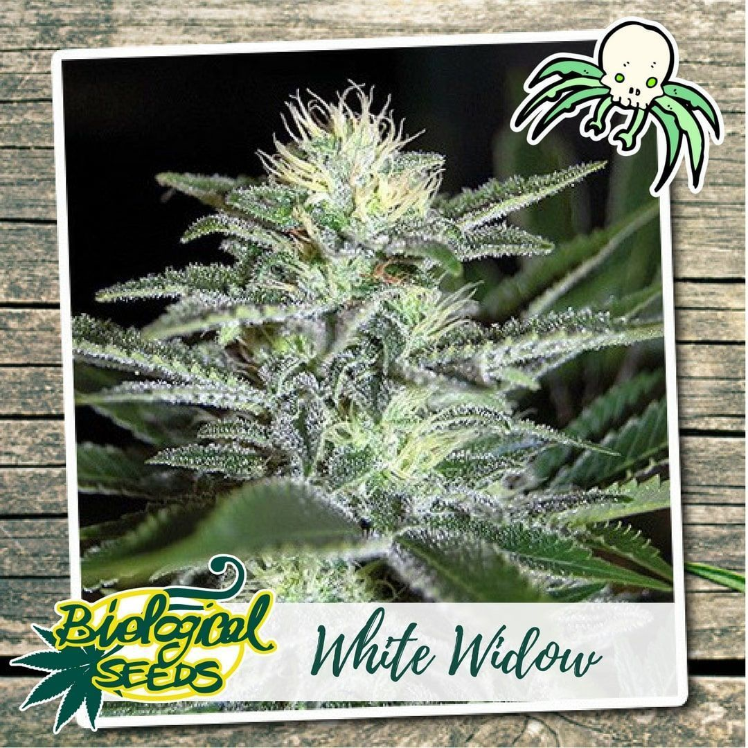 Biological Seeds White Widow