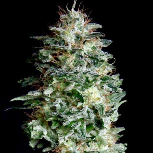Absolute Herer Absolute Cannabis Seeds