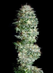 Absolute Cannabis Seeds Absolute Herer