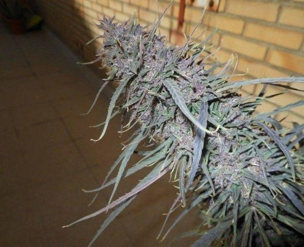 Purple Haze x Malawi Hiszpania
