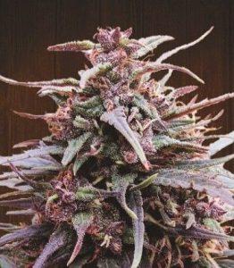 Ace Seeds Purple Haze x Malawi