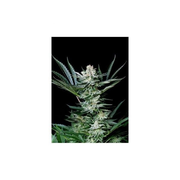 Amazing Auto Absolute Cannabis Seeds