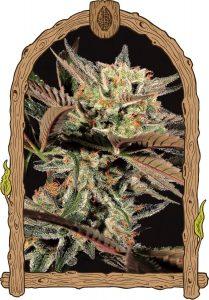 Exotic Seed Amnesia nr7