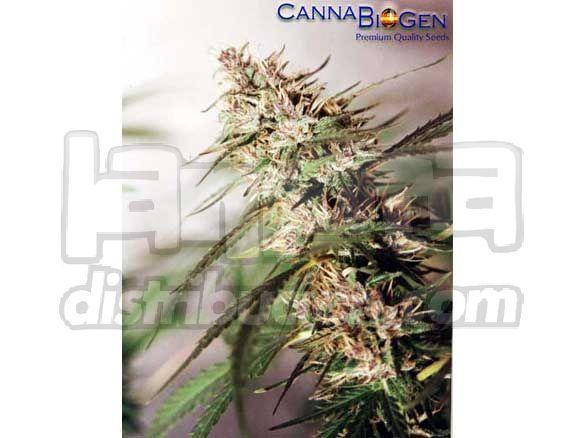 Cannabiogen Seeds Caribe