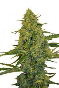 CBD Botanic CBD Chem Dawg