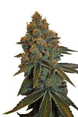 CBD Botanic CBD D. Diesel