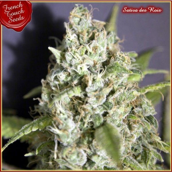 Sativa Des Rois French Touch Seeds