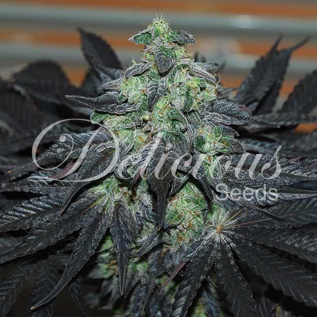 Delicious Seeds Golosa