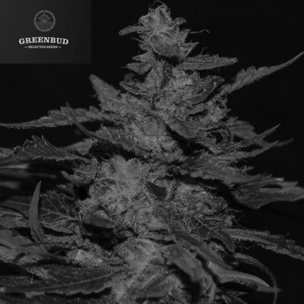 Blueberry 99 Greenbud Seeds