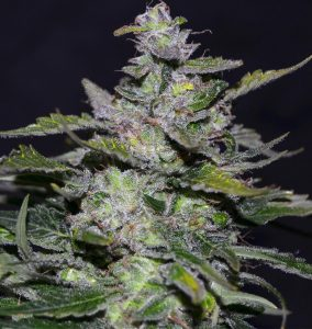 Greenbud Seeds Blueberry 99