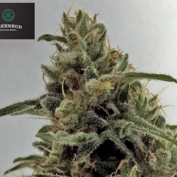 Critical Early Version Greenbud Seeds