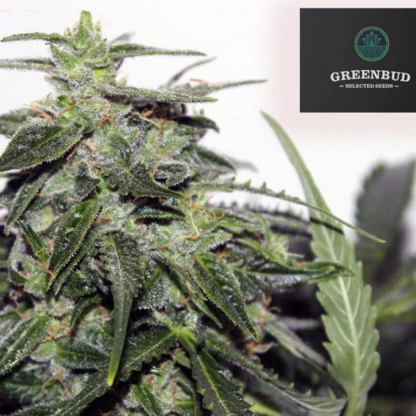 Explode Auto Greenbud Seeds
