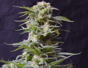 Greenbud Seeds Jawbreaker 47