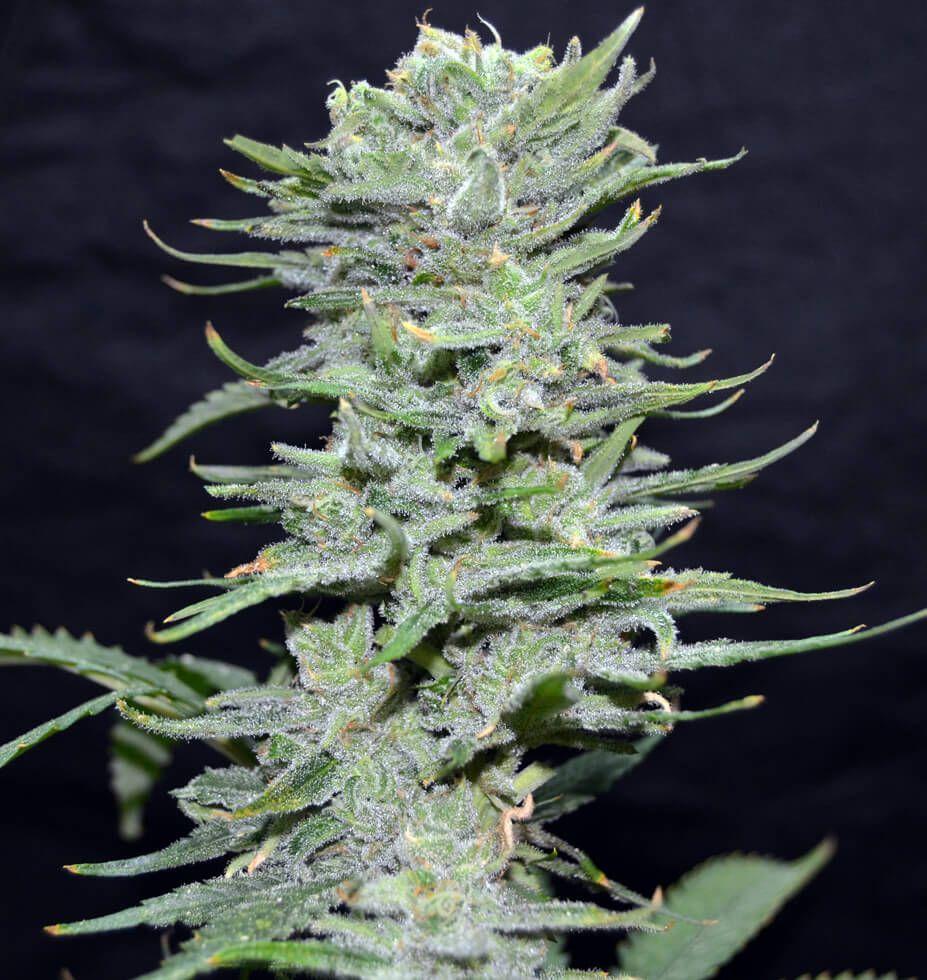 Greenbud Seeds Lemon Pie