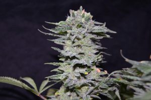 Greenbud Seeds NL 10