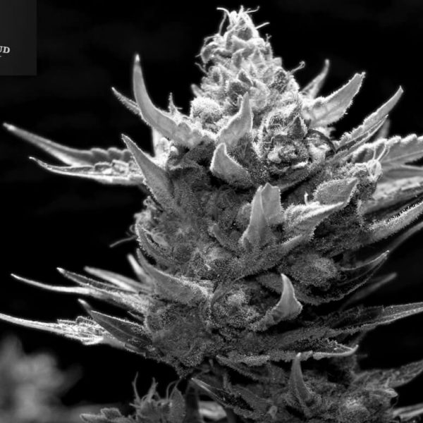 Snow Ripper Greenbud Seeds