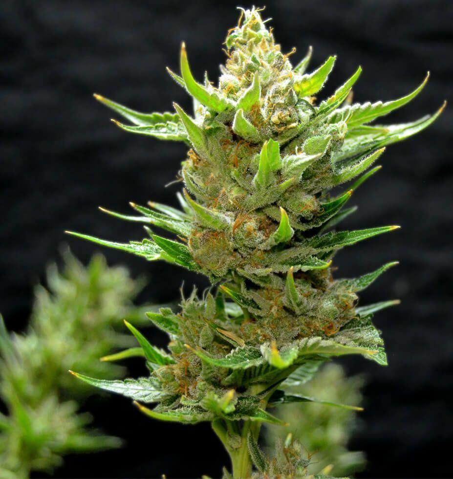 Greenbud Seeds Snow Ripper